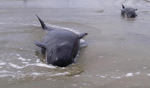 200 cá voi mắc cạn ở new zealand - 1