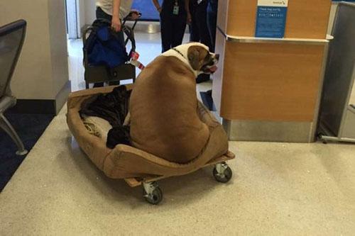 Chú chó béo bất ngờ nổi tiếng vì ngồi khoang hạng nhất - 1