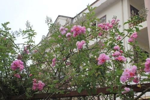 Ngất ngây với vẻ đẹp của giống hồng cổ châu âu ở sapa - 2