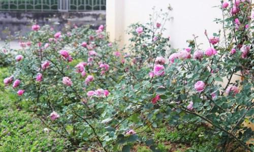 Ngất ngây với vẻ đẹp của giống hồng cổ châu âu ở sapa - 3