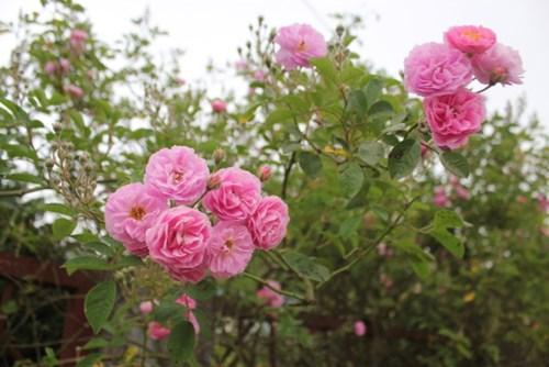 Ngất ngây với vẻ đẹp của giống hồng cổ châu âu ở sapa - 4