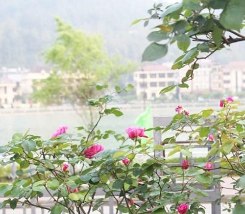 Ngất ngây với vẻ đẹp của giống hồng cổ châu âu ở sapa - 6