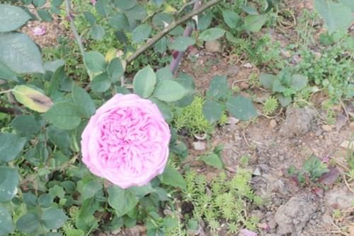 Ngất ngây với vẻ đẹp của giống hồng cổ châu âu ở sapa - 7