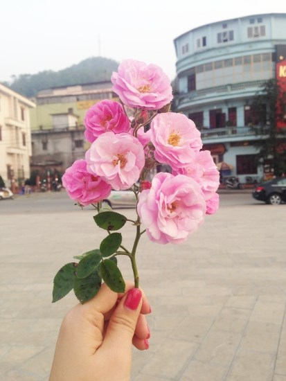 Ngất ngây với vẻ đẹp của giống hồng cổ châu âu ở sapa - 8