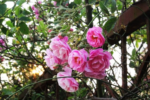Ngất ngây với vẻ đẹp của giống hồng cổ châu âu ở sapa - 9