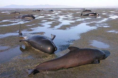 39 cá voi chết vì mắc cạn ở new zealand - 1
