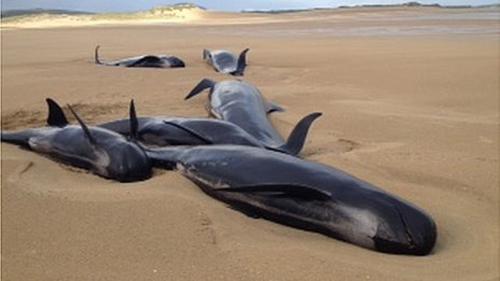 Cá voi chết vì mắc cạn ở ireland - 1