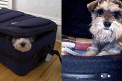 Chó trốn trong vali bay trót lọt từ hong kong qua nhật bản - 1