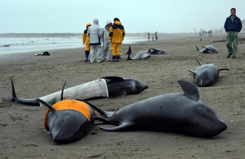 Hơn 130 cá voi mắc cạn ở nhật bản - 1