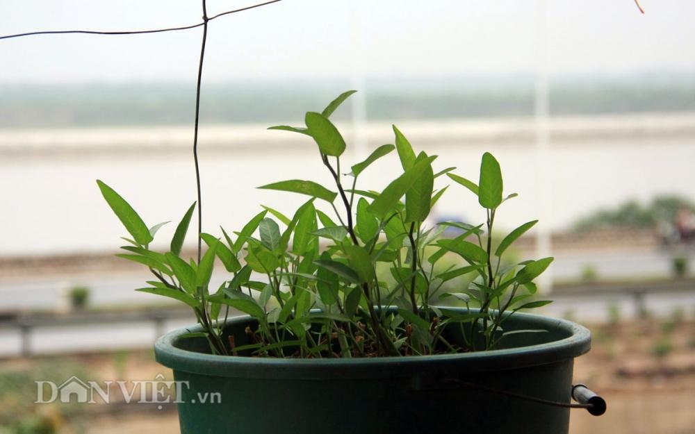 Chăm vườn rau sân thượng - tuyệt chiêu cơm lành canh ngọt của vợ chồng trẻ - 14