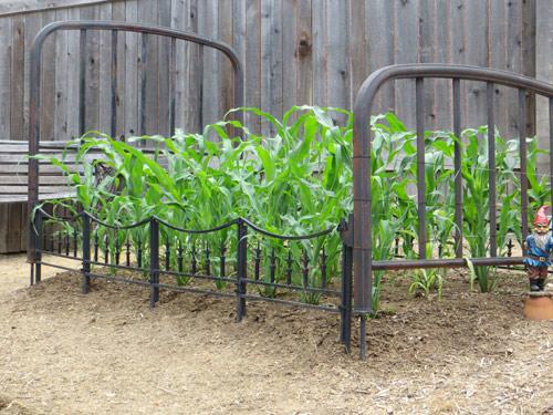 Chị em tò mò trồng ngô bảy sắc cầu vồng lạ chưa từng thấy - 13
