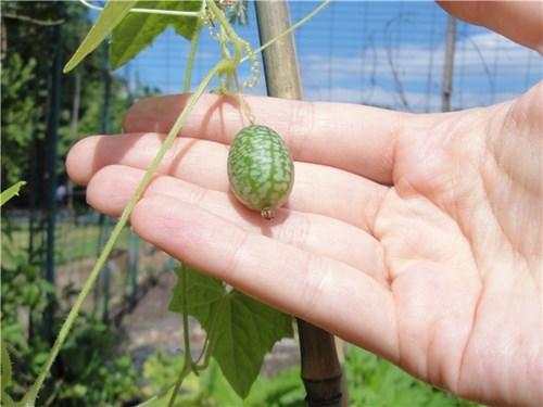 Rần rần cơn sốt trồng dưa hấu tí hon siêu dễ thương siêu dễ nuôi - 2
