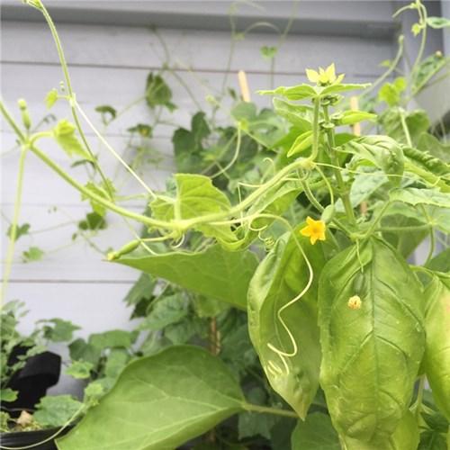 Rần rần cơn sốt trồng dưa hấu tí hon siêu dễ thương siêu dễ nuôi - 7