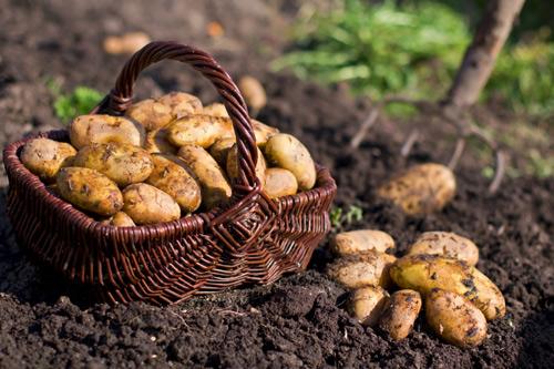 Trồng khoai tây tại nhà dễ như bỡn - 1