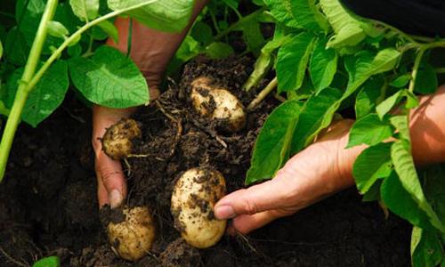 Trồng khoai tây tại nhà dễ như bỡn - 2