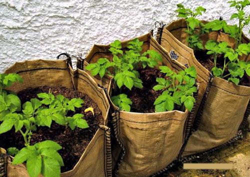 Trồng khoai tây tại nhà dễ như bỡn - 3
