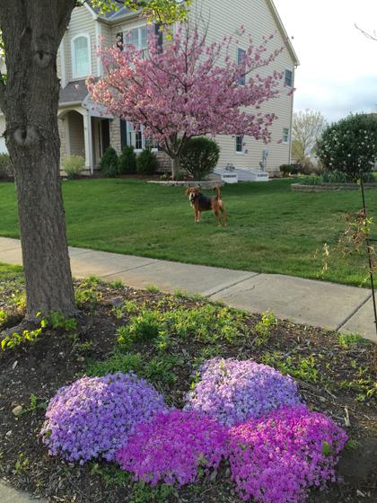 khu vườn ngập sắc hoa của giảng viên người việt ở mỹ - 2