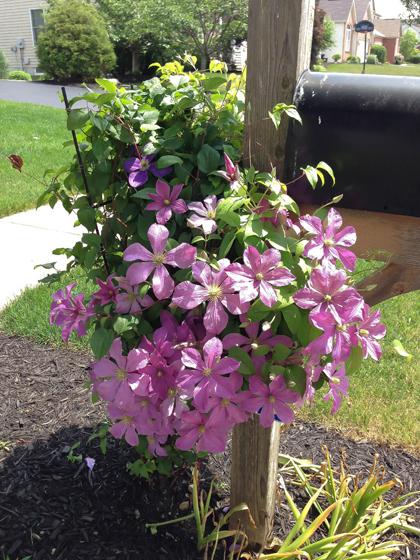 khu vườn ngập sắc hoa của giảng viên người việt ở mỹ - 13