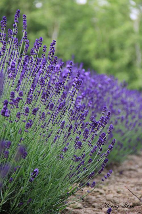 Cánh đồng hoa oải hương nở rộ giữa mùa hè nhật bản - 2