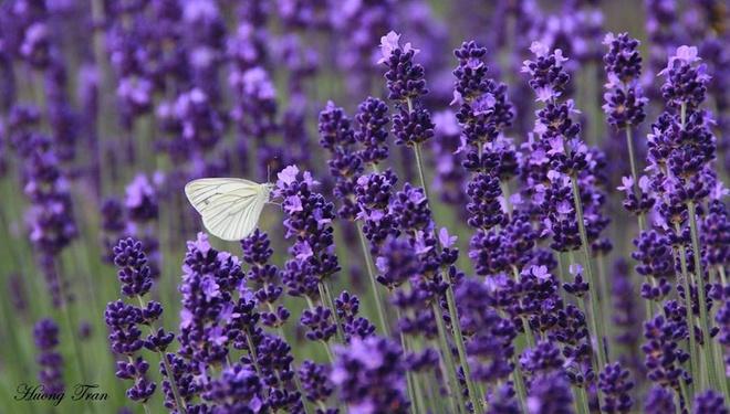 Cánh đồng hoa oải hương nở rộ giữa mùa hè nhật bản - 4
