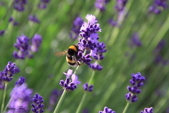 Cánh đồng hoa oải hương nở rộ giữa mùa hè nhật bản - 6