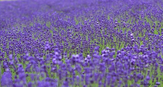 Cánh đồng hoa oải hương nở rộ giữa mùa hè nhật bản - 7