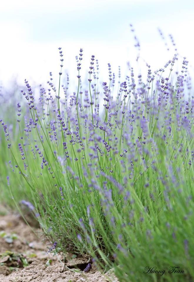 Cánh đồng hoa oải hương nở rộ giữa mùa hè nhật bản - 9