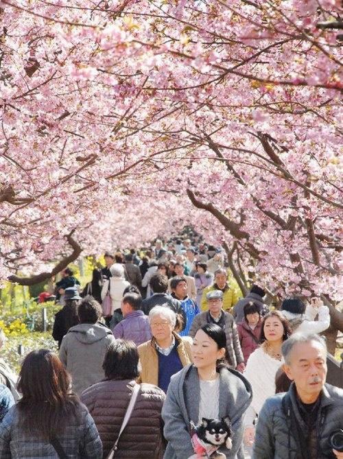 Ngôi làng nhật rực hồng mùa hoa anh đào - 2