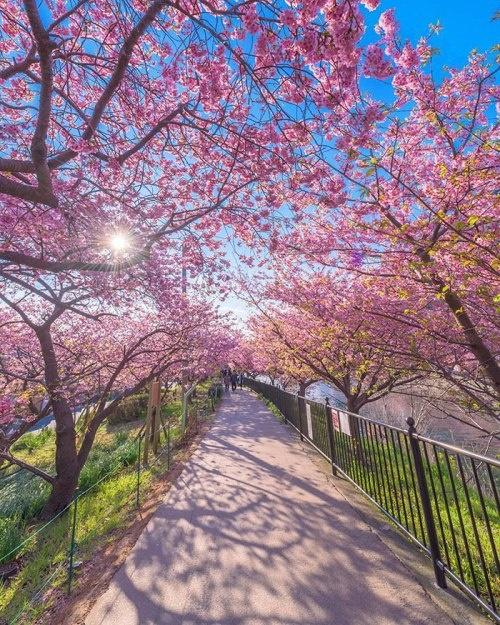 Ngôi làng nhật rực hồng mùa hoa anh đào - 3