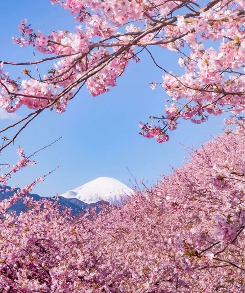 Ngôi làng nhật rực hồng mùa hoa anh đào - 4