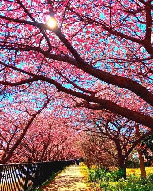 Ngôi làng nhật rực hồng mùa hoa anh đào - 9