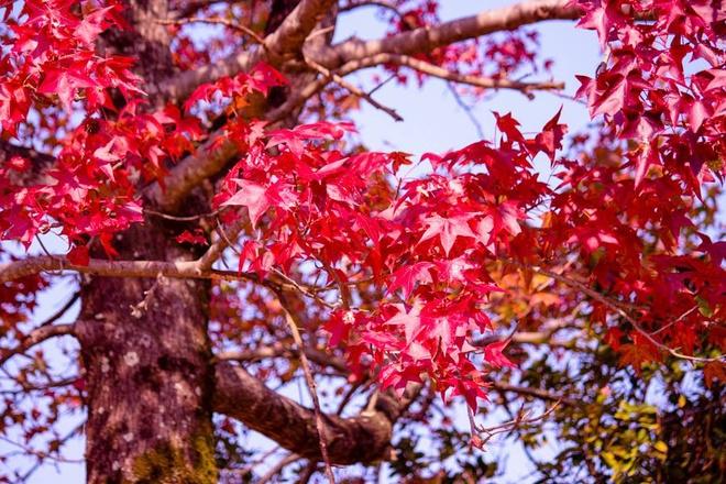 Vẻ đẹp thơ mộng mùa lá đỏ nhật bản - 1