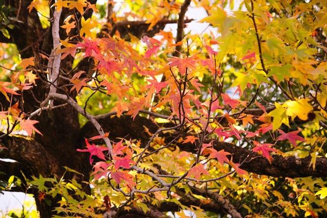 Vẻ đẹp thơ mộng mùa lá đỏ nhật bản - 8