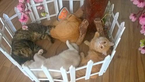 Quán cà phê của những chú chó mèo cực yêu ở hà nội - 4