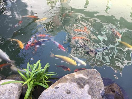 Cao thái sơn khoe hồ cá mới to như bể bơi - 16