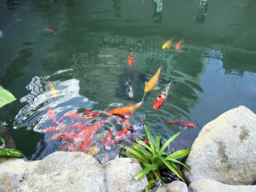 Cao thái sơn khoe hồ cá mới to như bể bơi - 17