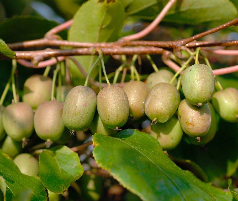 Mê mẩn trồng kiwi tí hon từ hạt cực đơn giản - 1