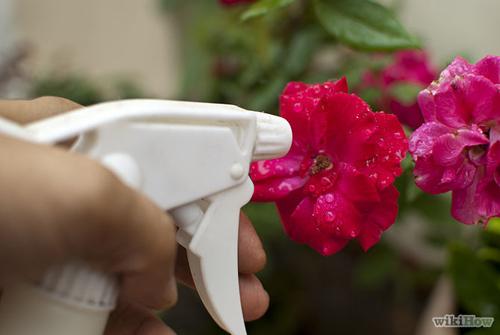 Muối nở giúp hoa hồng khỏe mạnh phọt nhanh - 4