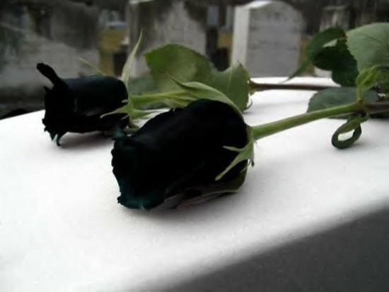 Sốt xình xịch trồng hoa hồng đen nở đúng hè - 2