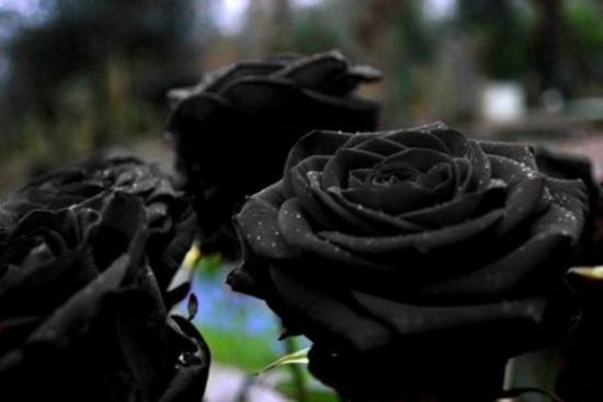 Sốt xình xịch trồng hoa hồng đen nở đúng hè - 3