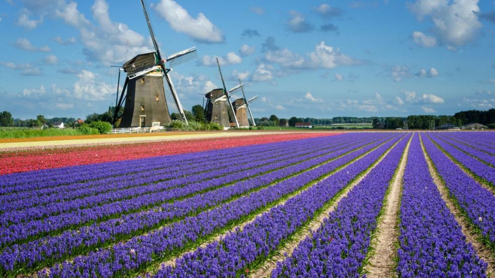 7 triệu cánh hoa tulip đồng loạt khoe sắc trong lễ hội mùa xuân tại hà lan - 2