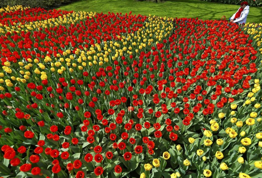 7 triệu cánh hoa tulip đồng loạt khoe sắc trong lễ hội mùa xuân tại hà lan - 5