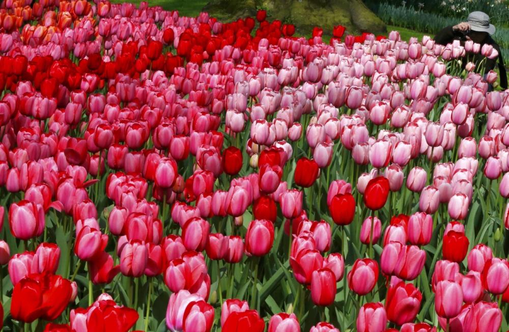 7 triệu cánh hoa tulip đồng loạt khoe sắc trong lễ hội mùa xuân tại hà lan - 6
