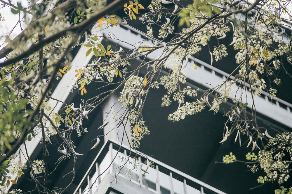 Hoa sưa nở rồi tiết trời nồm ẩm tháng 3 của hà nội cũng vì thế mà dịu dàng hơn - 2
