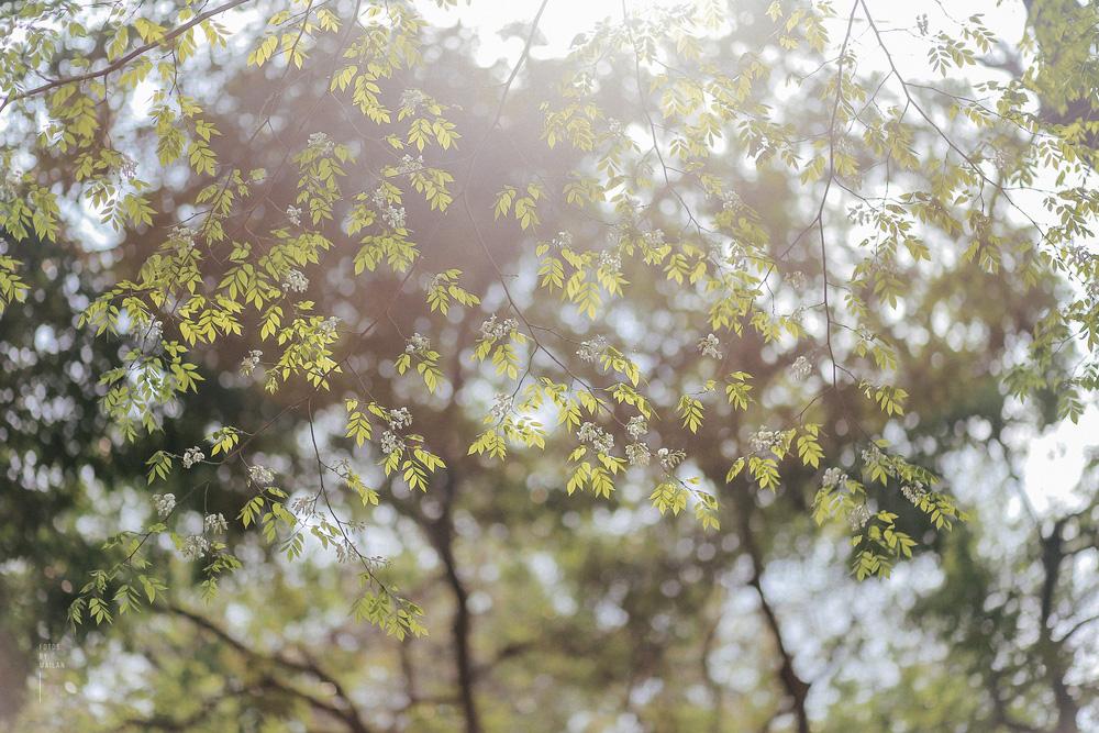 Hoa sưa nở rồi tiết trời nồm ẩm tháng 3 của hà nội cũng vì thế mà dịu dàng hơn - 5