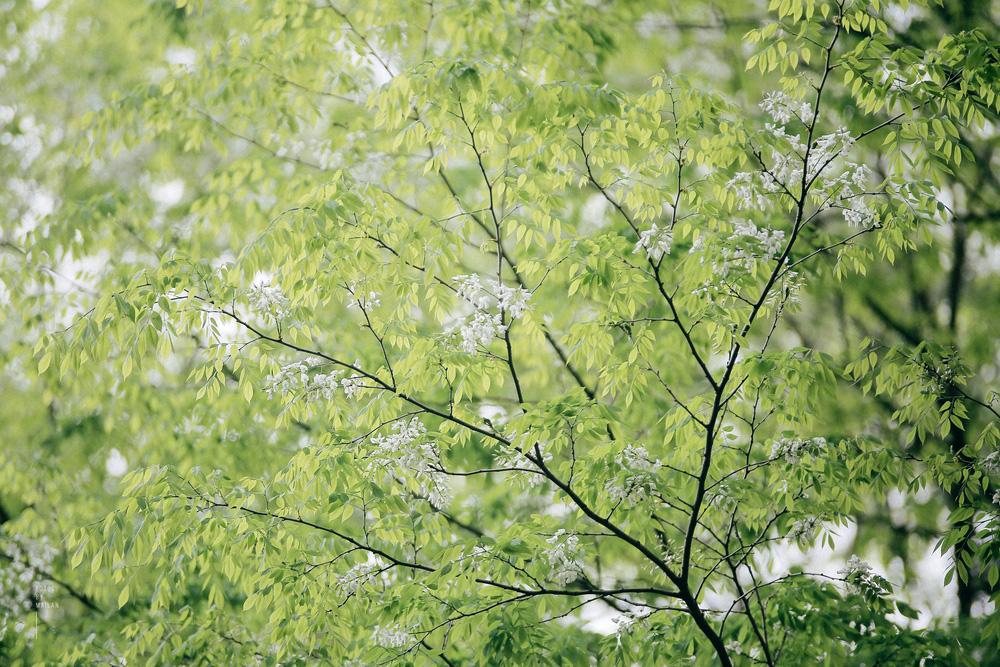 Hoa sưa nở rồi tiết trời nồm ẩm tháng 3 của hà nội cũng vì thế mà dịu dàng hơn - 7