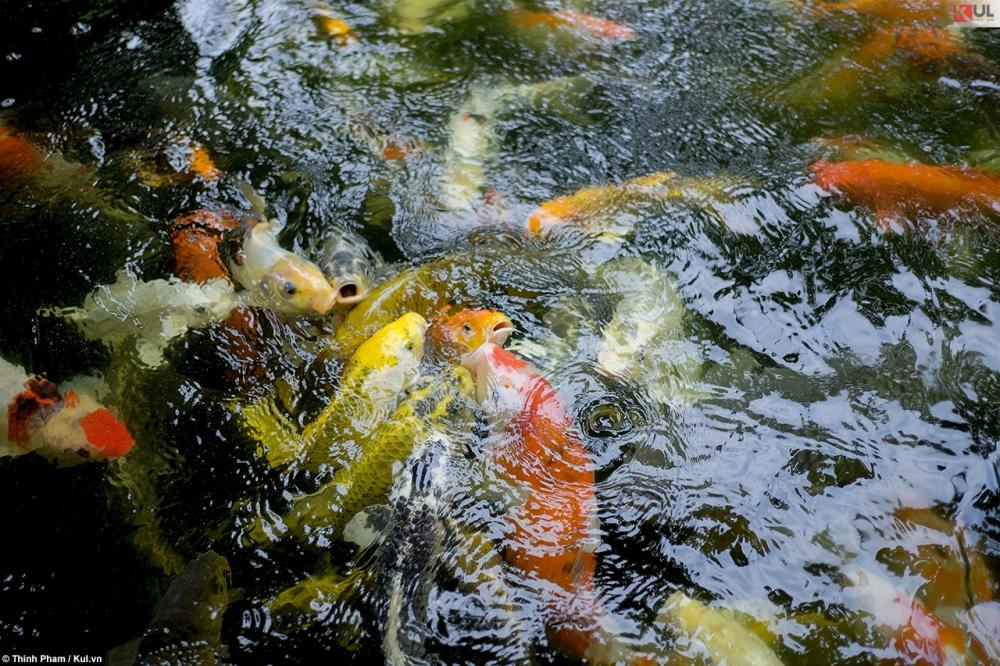 Không cần đi đâu xa bạn vẫn có thể ngắm cá koi nhật bản ngay tại sài gòn - 3