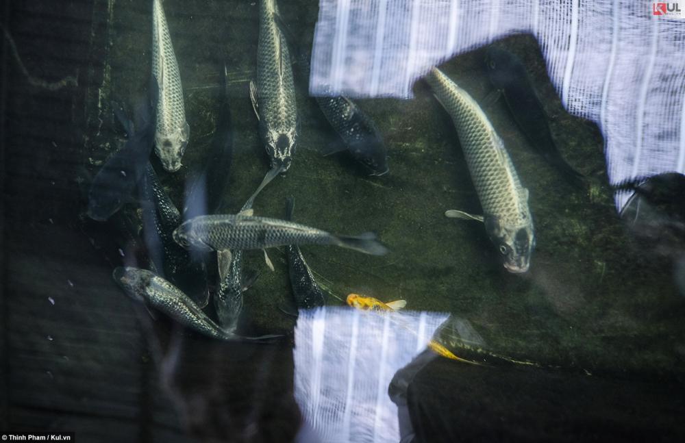 Không cần đi đâu xa bạn vẫn có thể ngắm cá koi nhật bản ngay tại sài gòn - 9