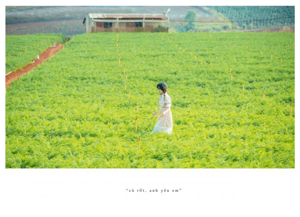 Ngoài cánh đồng cẩm tú cầu đà lạt còn có cánh đồng cà rốt khiến du khách ngỡ ngàng - 4